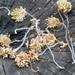 03 Lehullott bükkfa virágok