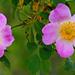 01 Igazi rózsaszín