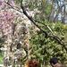 Szakura, avagy cseresznyevirágzás a Füvészkertben