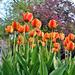 Bajuszos tulipán