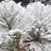 Fehér kaktusz