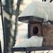 Hósipkás madárvárta
