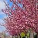 A sétány cseresznyéi...