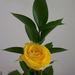AF - rózsa, szép sárga