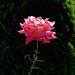 rózsa, csak egy szál
