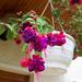 fukszia, nemes virág és bimbó