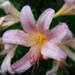 liliom, rózsaszínű