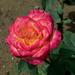 rózsa, rózsika