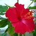 hibiszkusz, egy nemesített nagy vörös