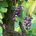 gyümölcsök, célegyenesben a szőlő