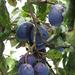 gyümölcsök, csakazértis szilvák
