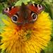 kísérletek, pillangó mustra