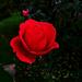 rózsa, naptalanul