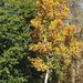 Csak egy szép fa