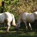 Magyar hidegvérű lovak