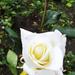 Rózsák 18.