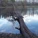 Kidölt- bedölt fa