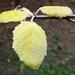 Sárga levelek