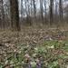 Tavaszi erdő ibolyával