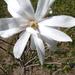 Fehér magnólia