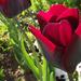 Tulipánok (2)