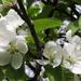 Almafa-virág