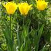 Tulipánok (8)