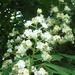 Vadgesztenye - virág