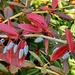 Az ősz színei (Júlia borbolya)