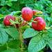Japán rózsa termése