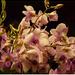 Orchidea - 1.