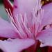 Gyűjtemény - Leander virágok