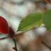 Csipkés levelek