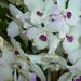 Dendrobium nobilé