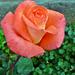 P1120464 rózsa