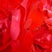 P1120612 rózsa