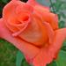 P1130651 rózsa