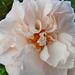 P1130714 rózsa