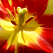 Album - Tulipánok