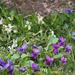virágok, kert ibolyák, kis hó, madarak